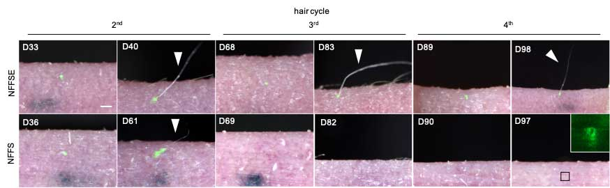 Regenerated hair cycles properly