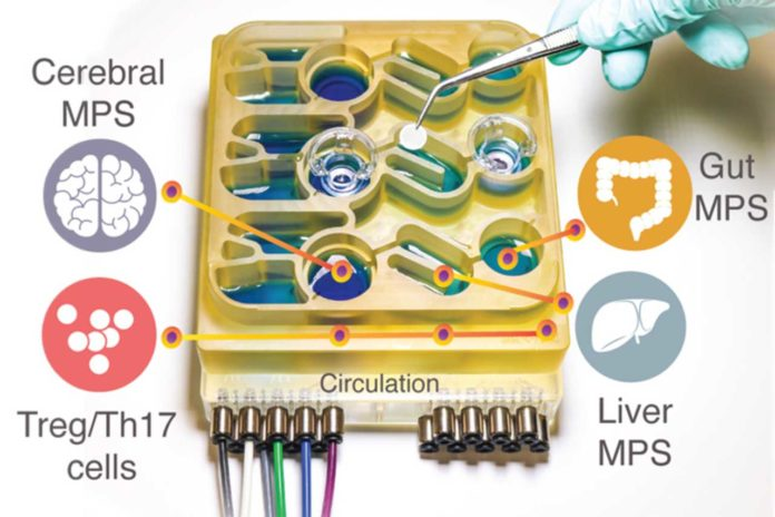 """MIT researchers have developed an """"organs-on-a-chip"""" system that replicates interactions between the brain, liver, and colon"""