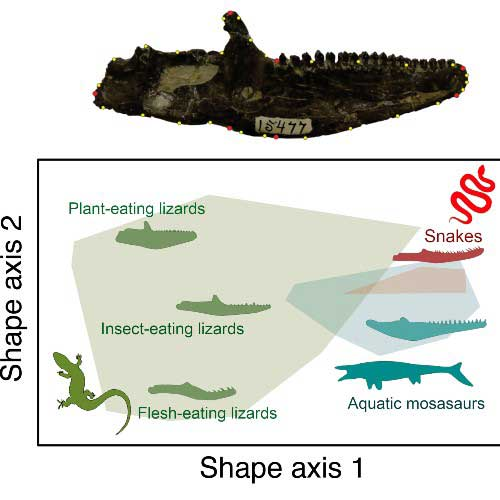 Jaw shape variety can be visualised in 'morpho-spaces' and linked to diets