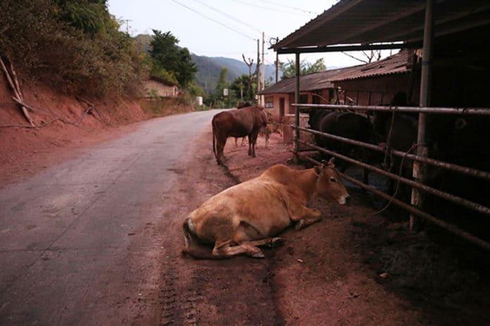 Cows rest