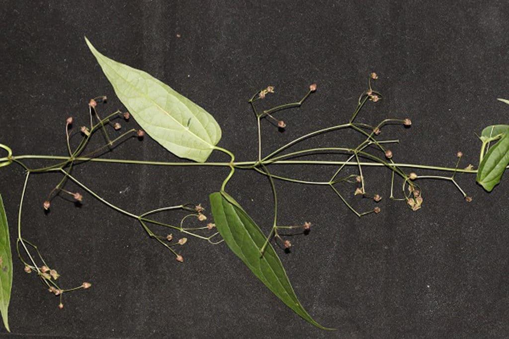 Vincetoxicum emeiense