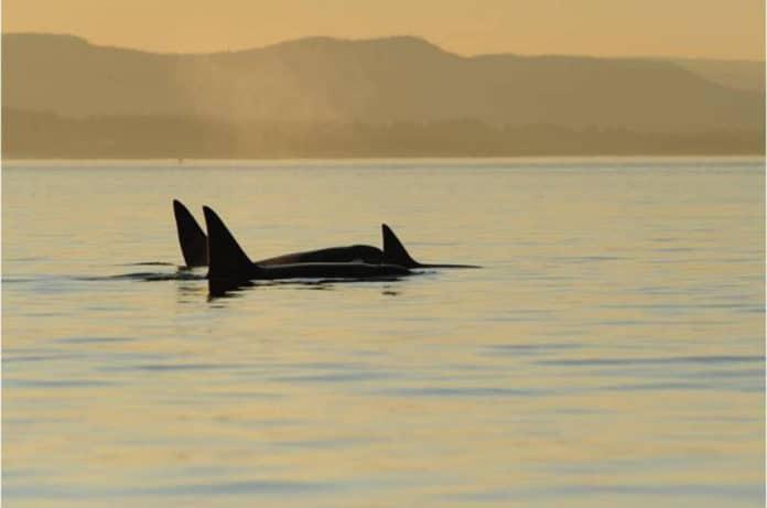 Bigg's killer whales