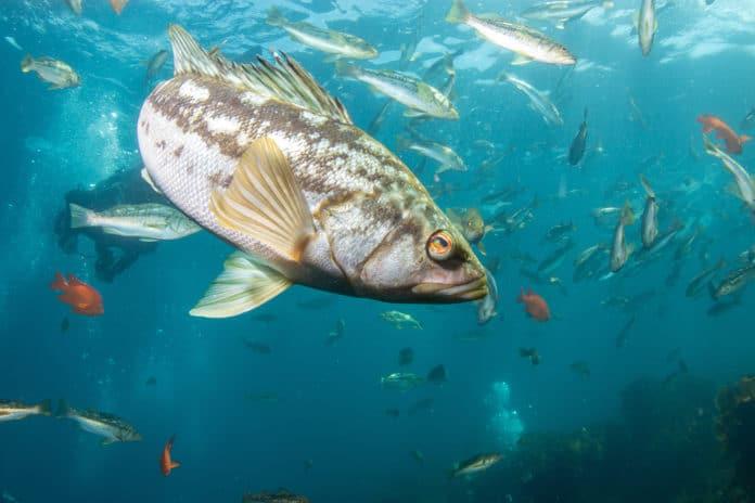 A school of kelp bass