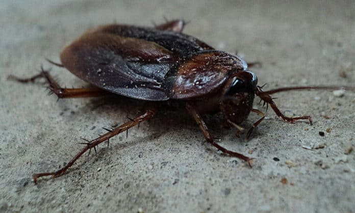 Blocking an enzyme could reduce cockroach sex, study