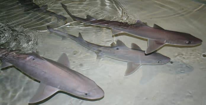 dogfish sharks