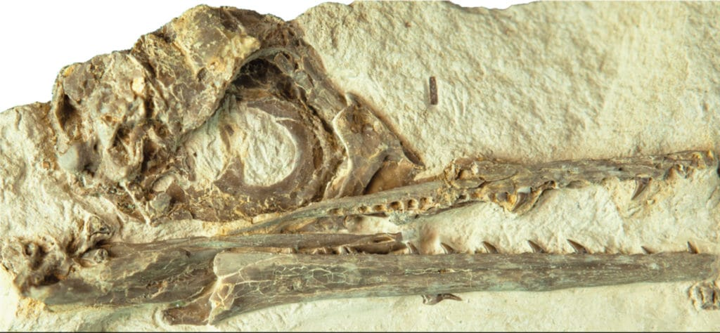 A fossil skull of Ichthyornis