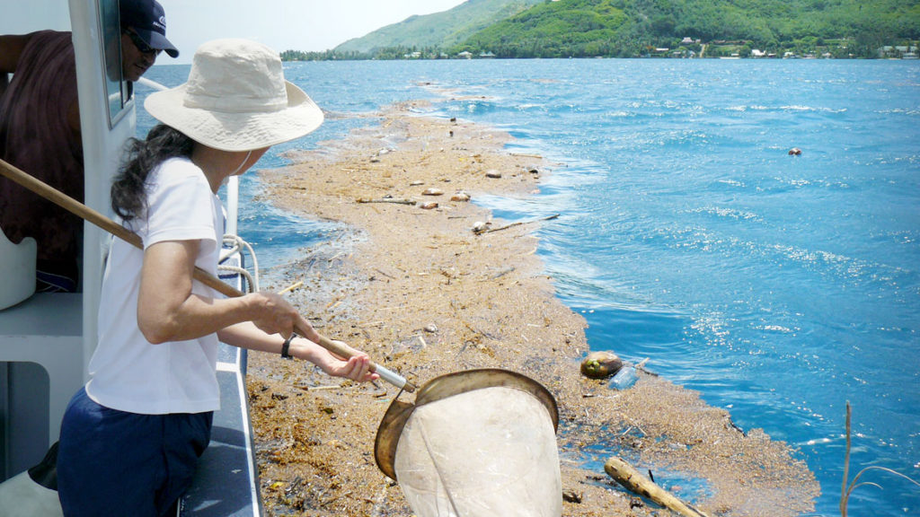 Dr Lanna Cheng collecting specimens with a dip netat the entrance of Cook's Bay