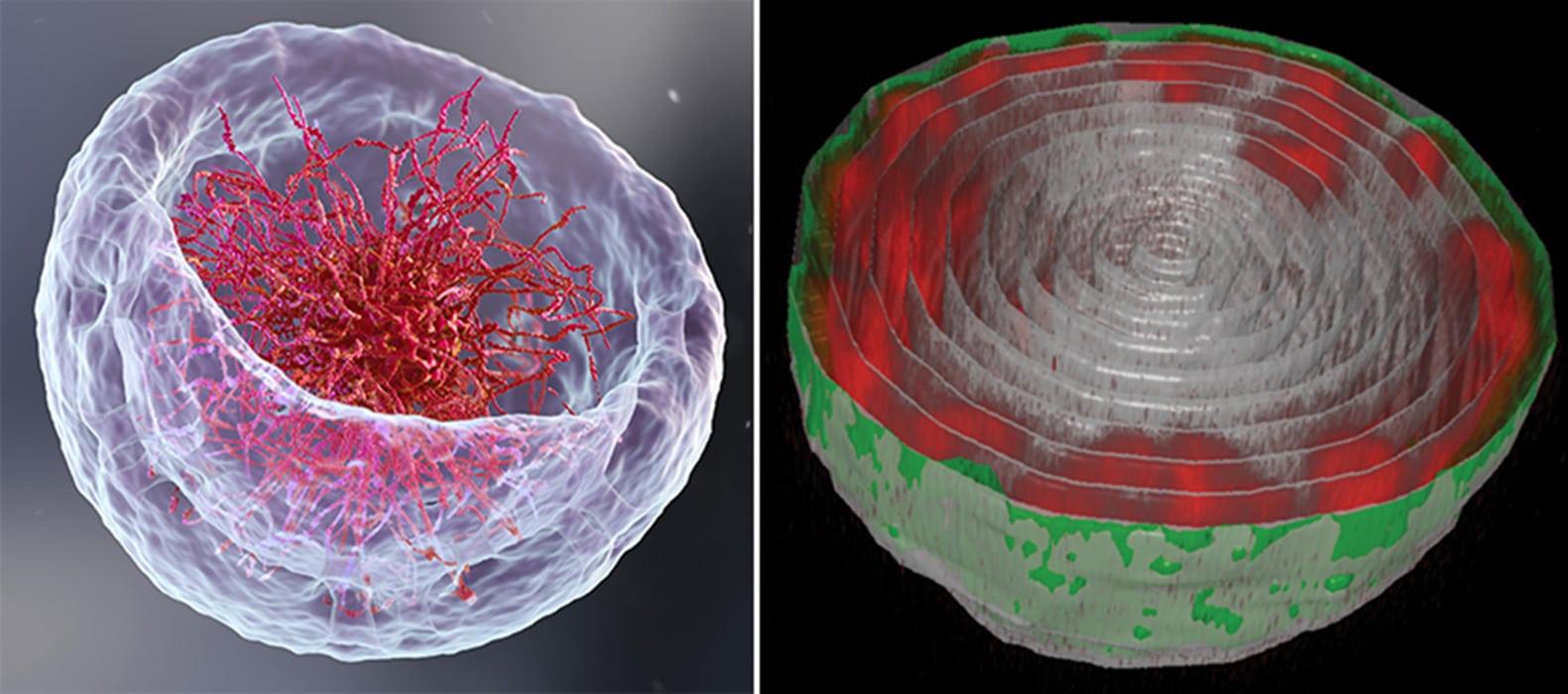 A surprising arrangement of DNA in the cell's nucleus revealed - Tech Explorist